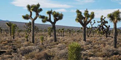 Joshua Trees at Lee Flat